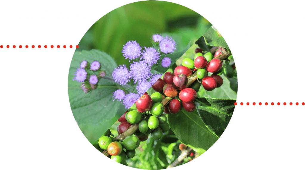 imagen de flor y grano de café
